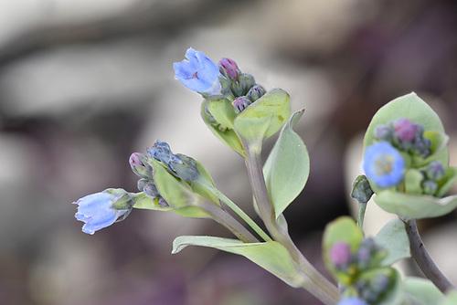 Oysterplant - Mertensia maritima