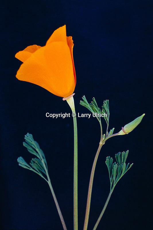 California poppies<br /> Highway 58<br /> South Coast Ranges<br /> San Luis Obispo County, California
