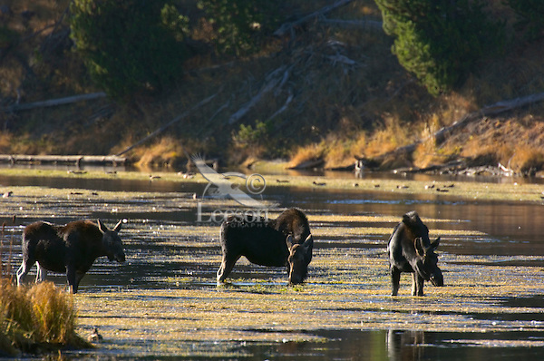 Moose feeding along edge of the Henry's Fork River in Harriman State Park, Idaho, fall.