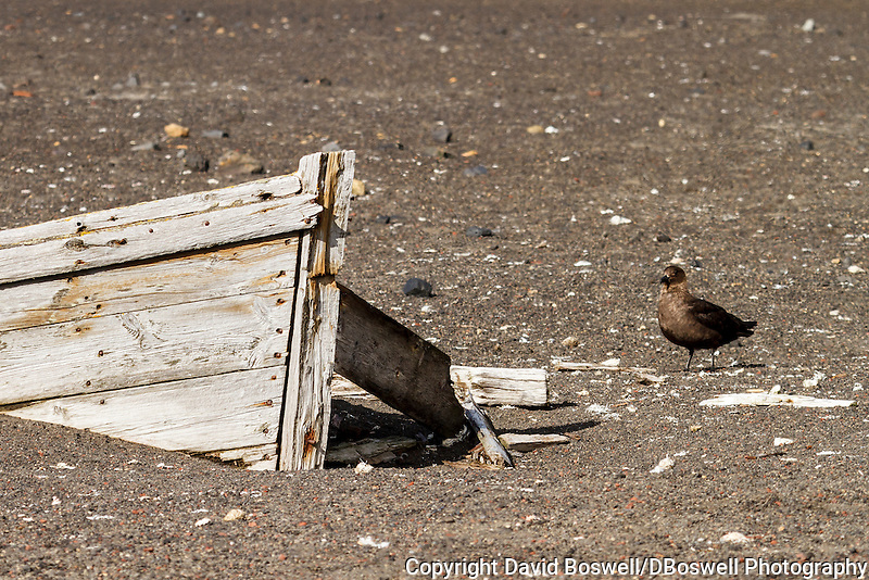 A brown skua wanders among the rotting water boats at Whalers Bay, the site of an abandoned Norwegian whaling base on Deception Island, in the South Shetland Islands near the Antarctic Peninsula.