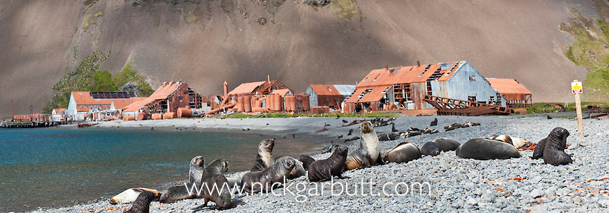 Antarctic Fur Seal colony (Arctocephalus gazella) on beach with decaying derelict whaling station in the background. Stromness, South Georgia, South Atlantic. (digitally stitched image)
