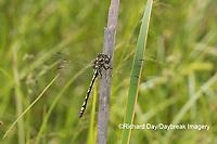 06496-00302 Arrowhead Spiketail (Cordulegaster obliqua) male Little Shoal Creek Fen Washington Co. MO