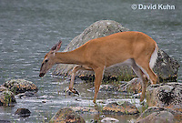 0623-1004  Northern (Woodland) White-tailed Deer, Odocoileus virginianus borealis  © David Kuhn/Dwight Kuhn Photography
