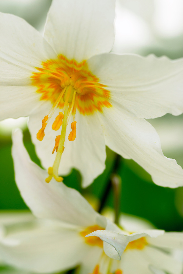 Close-up of blooming Avalanche Lilies, Mount Rainier National Park, Lewis County, Washington, USA