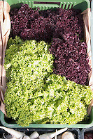 Green and purple leaf lettuce for sale at farmers market in Poland. Rawa Mazowiecka Central Poland