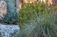 Muhlenbergia rigens Deer grass with Justicia spicigera in The Living Desert Garden, Palm Springs, California.