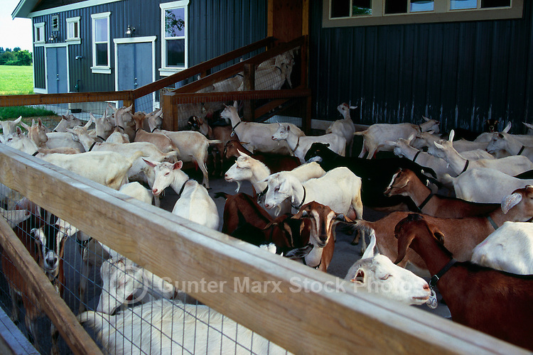 Fraser Valley Goat Farm, Langley, BC, British Columbia, Canada - Saanen, Nubian, and Nubian / Alpine Cross Goats await milking for Cheese Production
