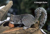 MA23-071z  Gray Squirrel - taking weathered apple to eat in winter - Sciurus carolinensis.