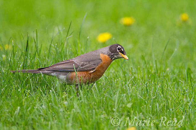 American Robin (Turdus migratorius) female with head cocked to the side, looking for worms on lawn in spring, New York, USA