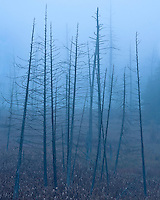 Trees stand like sentries in a morning fog.