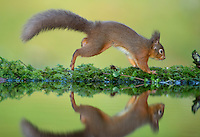 Red squirrel Sciurus vulgaris, an adult running at a reflection pool, Dumfries, Scotland, UK, January
