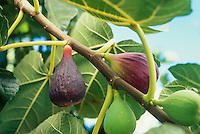 Ficas carica 'Brown Turkey'-Fig