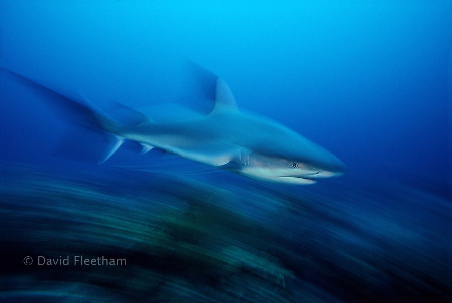 Fast moving Caribbean Reef Sharks, Carcharhinus perezi, and a slow shutter speed resulted in this motion blurred image.  Nassau, Bahamas.