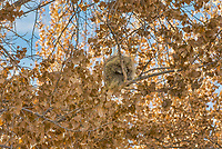 North American porcupine (Erethizon dorsatum)--also known as the Canadian porcupine or common porcupine--sleeping up in tree.  Western U.S., late fall.