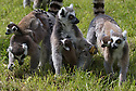 16/05/16<br /> <br /> &quot;Don't be scared -  we'll be here to help you.&quot;.<br /> <br /> Three baby ring-tail lemurs began climbing lessons for the first time today. The four-week-old babies, born days apart from one another, were reluctant to leave their mothers&rsquo; backs to start with but after encouragement from their doting parents they were soon scaling rocks and trees in their enclosure. One of the youngsters even swung from a branch one-handed, at Peak Wildlife Park in the Staffordshire Peak District. The lesson was brief and the adorable babies soon returned to their mums for snacks and cuddles in the sunshine.<br /> All Rights Reserved F Stop Press Ltd +44 (0)1335 418365
