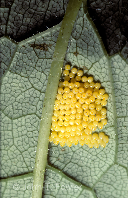 Freshly laid eggs of Harris's Checkerspot Butterfly, Chlosyne harrisii
