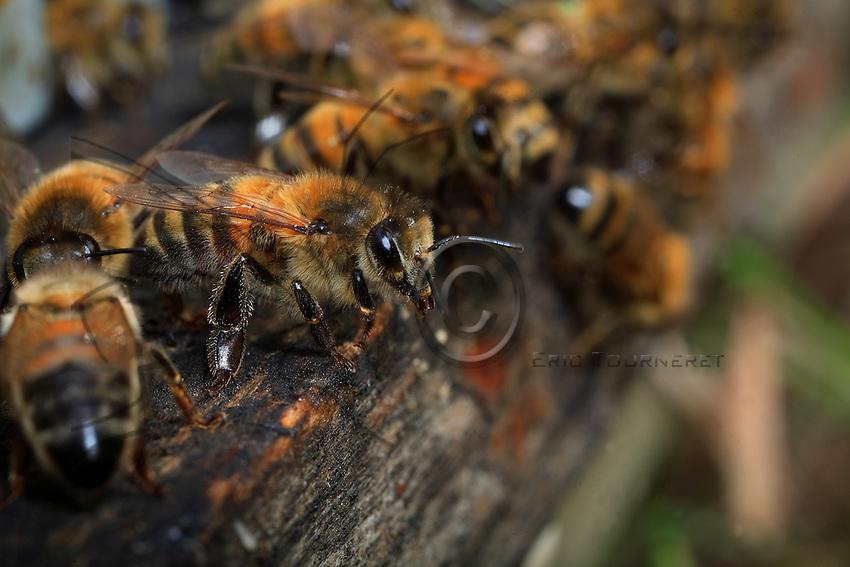 La planche d'envol est toujours encombrée d'abeilles qui vaquent à leurs occupations, indifférentes à leurs congénères. Seules quelques abeilles restent immobiles. Gardiennes de la ruche, elles veillent, prêtes à défendre l'entrée du sanctuaire contre d'éventuels ennemis ou plus souvent contre les abeilles d'autres ruches. Les intrus seront repoussés ou même tués. Les gardiennes sont âgées de 7 à 22 jours et n'assument parfois cette tâche qu'une seule journée dans leur vie.