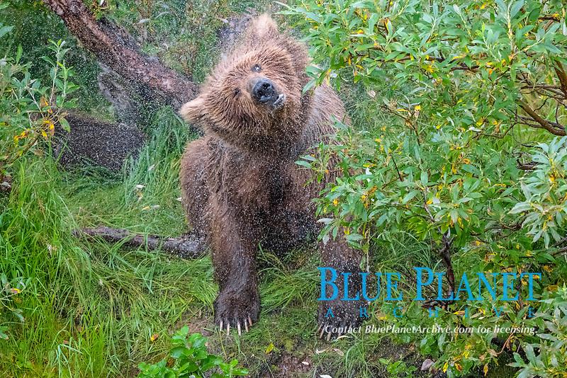 Alaska Peninsula brown bear, grizzly bear, Ursus arctos horribilis, shaking off water, Katmai National Park and Preserve, Alaska, USA