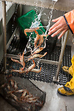 CANADA, Vancouver, British Columbia, fresh Spotted Prawns are tossed into a basket, the Burrard Inlet, aboard the boat Organic Ocean