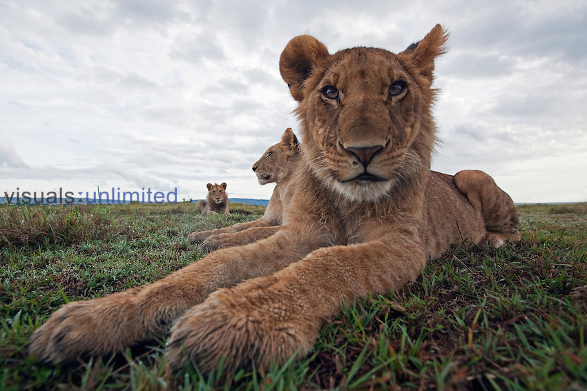 African Lion adolescents resting (Panthera leo), Masai Mara, Kenya.