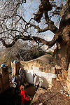 Israel, the Lower Galilee. Atlantic Pistachio tree by the tomb of Hanina Ben Dosa in Arabe'