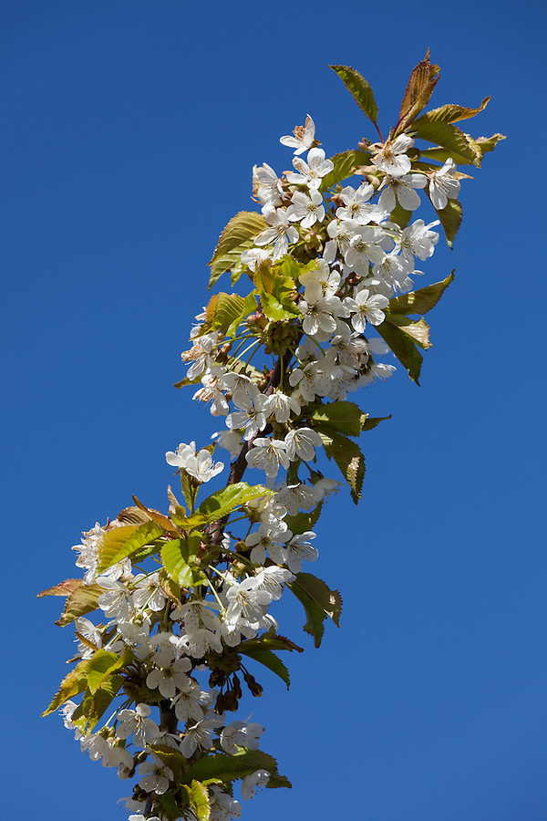 A cherry tree branch is covered its full bloom of white flowers.