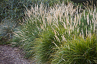 Pennisetum orientale 'Fairy Tales' flowering bunch grass in David Fross California winter meadow garden