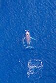 Une baleine et son baleineau dans le lagon Sud