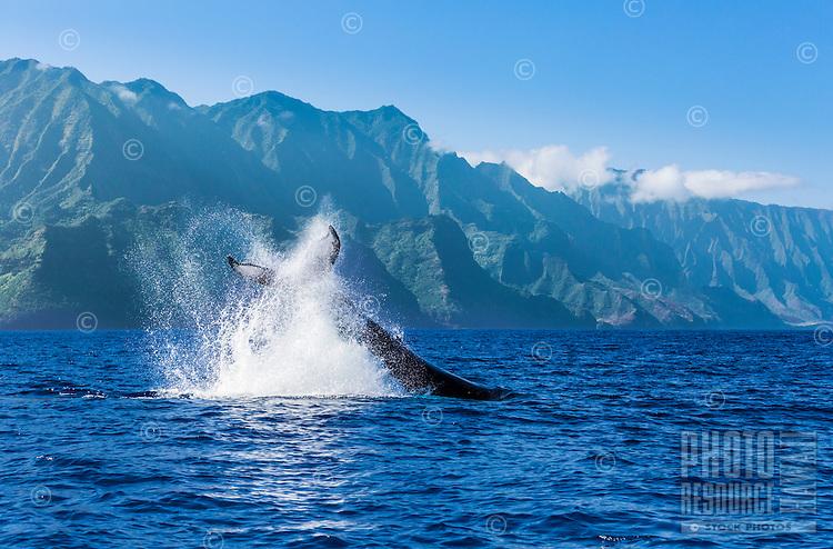 A humpback whale does a peduncle throw off of the Na Pali Coast of Kaua'i.