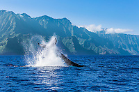 A humpback whale does a peduncle throw off of the Na Pali Coast of Kaua'i.