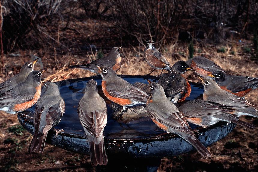 A flock of American Robins. (Turdus migratorius). Arizona.