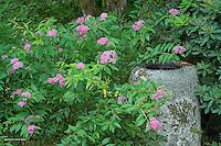Bird bath and Spirea japonica in bloom