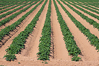 27.5.2020 Potatoes growing in Lincolnshire <br /> ©Tim Scrivener Photographer 07850 303986<br />      ....Covering Agriculture In The UK.