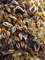 Gemeine Miesmuschel, Unterwasseraufnahme, Muschelbank, mit geöffneter Ein- und Ausströmöffnung unter Wasser, Mytilus edulis, bay mussel, common mussel, common blue mussel