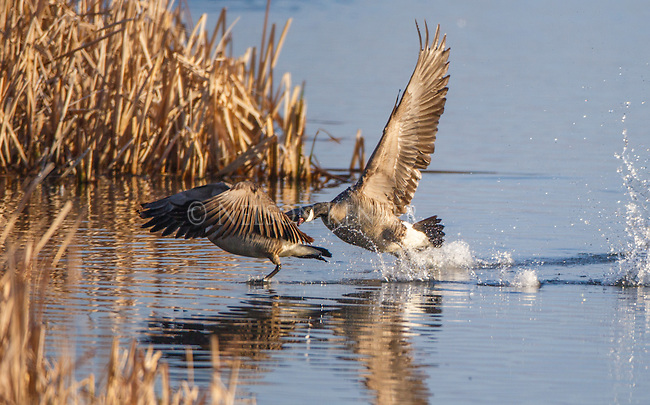 A Canada Goose chases another goose during the spring nesting season in western Montana at the Lee Metcalf Wildlife Refuge.