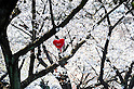 Tokyo, Japan - April 8: A heart-shaped balloon was stuck on a branch of one of Cherry trees as the flowers in full bloom at Yoyogi Park, Shibuya, Tokyo, Japan on April 8, 2012. Many people visited the park for Hanami parties, or parties under cherry blossoms, at the park and enjoyed the flowers and fair weather.