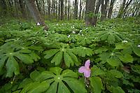 Spring forest of May-apple (Podophyllum peltatum) and white trillium (Trillium grandiflorum)