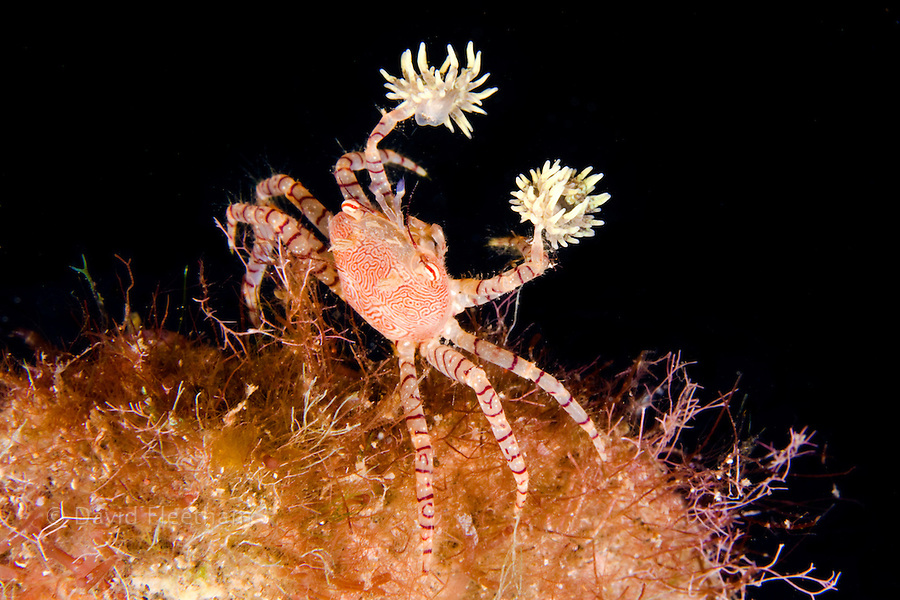 The endemic Hawaiian pom-pom crab or boxer crab, Lybia edmondsoni, is associated with anemones, Triactis sp, that it carries around holding with the claws and using them for defense, waving in front of the possible aggressor. This is a mutualistic symbiosis, the benefit for the anemone is in being transported around, with more ease in finding the food.  Hawaii.