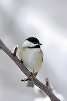 Black Capped Chickadee   #B11