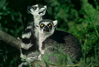 654003006 captive pair of ringtailed lemurs lemur catta sitting on logs  - species is endangered and is native to madagascar - these lemurs are zoo animals