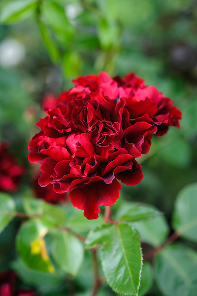 Rosa 'Isabel'