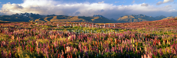 Flowering Lupin plants. Gammock Mountains in the background. Mackenzie Country. Canterbury Region. New Zealand.