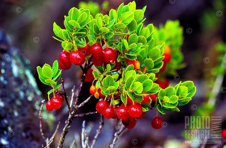Native ohelo (vaccium) berries on the Big island