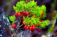 Native ohelo (vaccium) berries on the Big island
