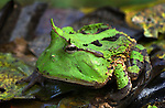 Amazon Horned Frog (Ceratophrys cornuta) in Peruvian Amazon.