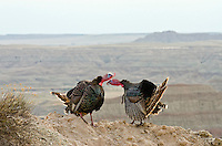 """Two wild turkey (Meleagris gallopavo) gobblers having a dominance conflict during spring mating season in """"badlands"""" of South Dakota."""