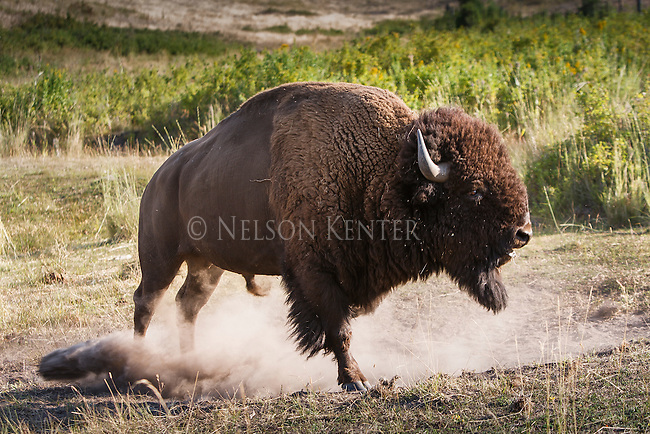 a rutting bison bull pawing the ground and posturing to another rival bison