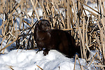 Mink (Mustela vison) standing in the snow among the cattails.  Minnesota.