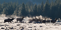 The elk rut produced a magical morning for us on this trip, when we found several bulls in action during a cold sun-drenched morning on Swan Lake Flat. It ended up being my favorite elk shoot to date.