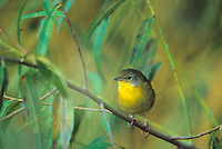 Common Yellowthroat Warbler, Palmyra Cove Nature Park, Palmyra, New Jersey
